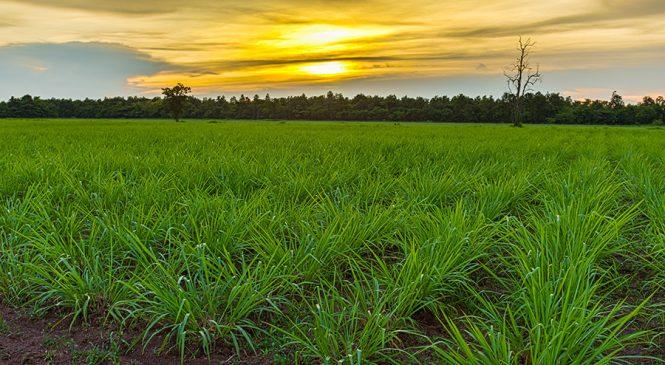 หญ้ายักษ์เนเปียร์สู่พลังงานยิ่งใหญ่ ฝันที่ยังไม่เป็นจริงของคนไทย